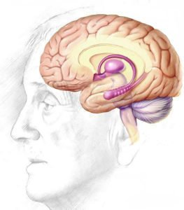 human_brain_drawing-cleaned up